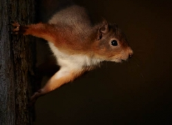 red-squirrel-705-scotland-copyright-photographers-on-safari-com