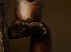 red-squirrel-707-scotland-copyright-photographers-on-safari-com