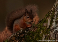 red-squirrel-708-scotland-copyright-photographers-on-safari-com