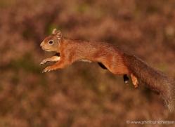 red-squirrel-709-scotland-copyright-photographers-on-safari-com