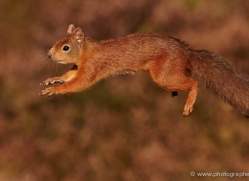 red-squirrel-710-scotland-copyright-photographers-on-safari-com