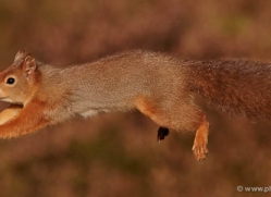 red-squirrel-711-scotland-copyright-photographers-on-safari-com