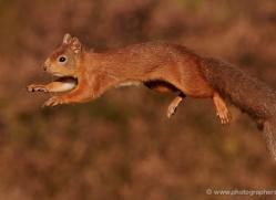 red-squirrel-712-scotland-copyright-photographers-on-safari-com