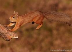 red-squirrel-713-scotland-copyright-photographers-on-safari-com