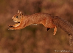 red-squirrel-714-scotland-copyright-photographers-on-safari-com
