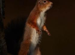 red-squirrel-715-scotland-copyright-photographers-on-safari-com