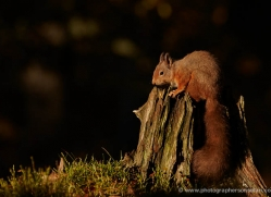 red-squirrel-716-scotland-copyright-photographers-on-safari-com