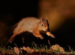 red-squirrel-717-scotland-copyright-photographers-on-safari-com