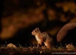 red-squirrel-718-scotland-copyright-photographers-on-safari-com