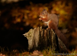 red-squirrel-719-scotland-copyright-photographers-on-safari-com