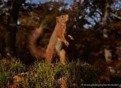 red-squirrel-720-scotland-copyright-photographers-on-safari-com
