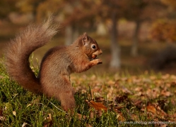 red-squirrel-721-scotland-copyright-photographers-on-safari-com