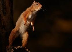 red-squirrel-723-scotland-copyright-photographers-on-safari-com
