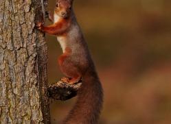 red-squirrel-724-scotland-copyright-photographers-on-safari-com