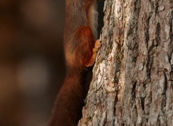 red-squirrel-725-scotland-copyright-photographers-on-safari-com