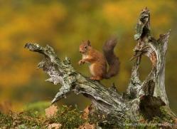 red-squirrel-727-scotland-copyright-photographers-on-safari-com