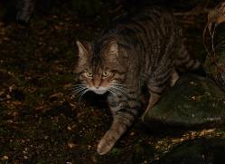 scottish-wild801cat-scotland-copyright-photographers-on-safari-com