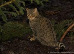 scottish-wild802cat-scotland-copyright-photographers-on-safari-com