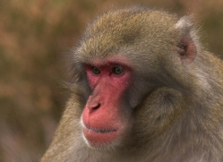 snow-monkey-japanese-macaque688-scotland-copyright-photographers-on-safari-com