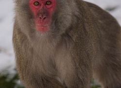 snow-monkey-japanese-macaque689-scotland-copyright-photographers-on-safari-com