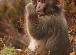 snow-monkey-japanese-macaque693-scotland-copyright-photographers-on-safari-com