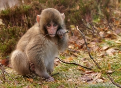 snow-monkey-japanese-macaque694-scotland-copyright-photographers-on-safari-com