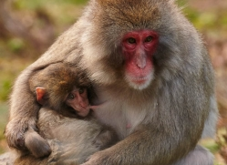 snow-monkey-japanese-macaque696-scotland-copyright-photographers-on-safari-com