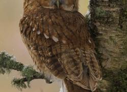 tawny-owl839-scotland-copyright-photographers-on-safari-com