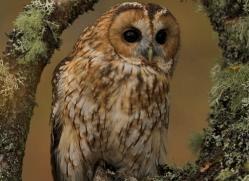 tawny-owl842-scotland-copyright-photographers-on-safari-com