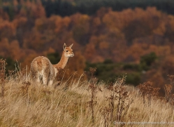 vicuna-753-scotland-copyright-photographers-on-safari-com