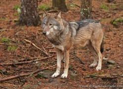 wolf-703-scotland-copyright-photographers-on-safari-com