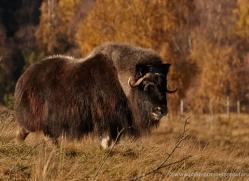 yak-803-scotland-copyright-photographers-on-safari-com
