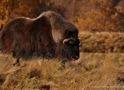 yak-804-scotland-copyright-photographers-on-safari-com