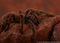 Chilean-Rose-Tarantula-copyright-photographers-on-safari-com-6134