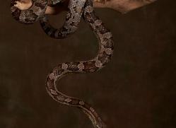 Corn-Snake-copyright-photographers-on-safari-com-6136