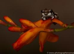 Amazonian-Milk-Frog-copyright-photographers-on-safari-com-6113