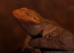 Bearded-Dragon-copyright-photographers-on-safari-com-6121