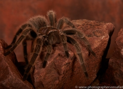 Chilean-Rose-Tarantula-copyright-photographers-on-safari-com-6131