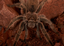 Chilean-Rose-Tarantula-copyright-photographers-on-safari-com-6135