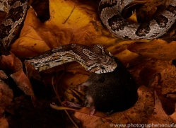 Corn-Snake-copyright-photographers-on-safari-com-6137