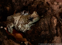 Amazonian-Milk-Frog-copyright-photographers-on-safari-com-6111