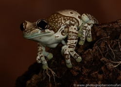 Amazonian-Milk-Frog-copyright-photographers-on-safari-com-6112