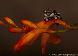 Amazonian-Milk-Frog-copyright-photographers-on-safari-com-6113