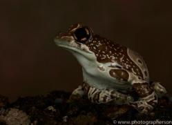 Amazonian-Milk-Frog-copyright-photographers-on-safari-com-6114