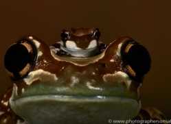 Amazonian-Milk-Frog-copyright-photographers-on-safari-com-6116
