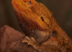 Bearded-Dragon-copyright-photographers-on-safari-com-6117