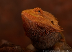 Bearded-Dragon-copyright-photographers-on-safari-com-6119
