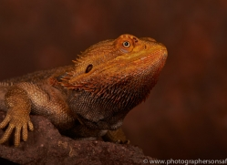 Bearded-Dragon-copyright-photographers-on-safari-com-6120