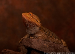 Bearded-Dragon-copyright-photographers-on-safari-com-6122