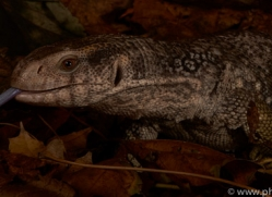 Bosc-Monitor-Lizard-copyright-photographers-on-safari-com-6125